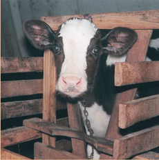 Veal production is plummeting - thanks to your support!