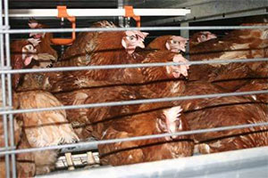 enriched-battery-cage